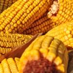 Bioetanolgyárak kontra állattartók: kukoricáznak egymással