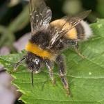 Veszélyt jelent a poszméhek túlélésére a klímaváltozás
