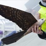 Holland drónsólymok a debreceni repülőtéren