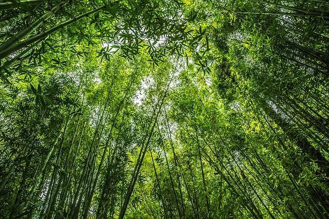 Bambusz erdő zöld