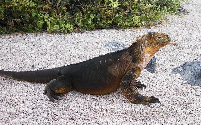 Galápagos Leguán