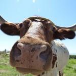 Etikátlan lehet a marhahús Dániában