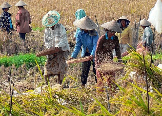 indonézia rizsföld