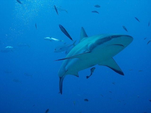 cápa óceán tenger